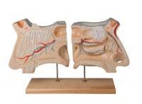 Erler-Zimmer Nase und Riechorgan Modell