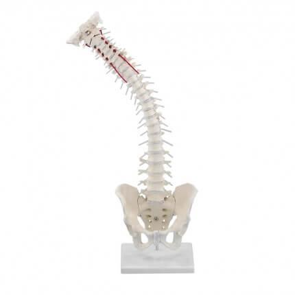 Colonne vertébrale avec bassin amovible