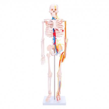 Anatomisches Skelett-Modell