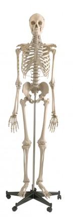 Standard Skelett auf Stativ
