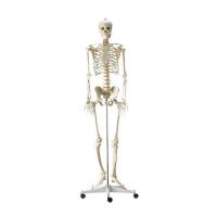 Dr. No Menschliches Skelett
