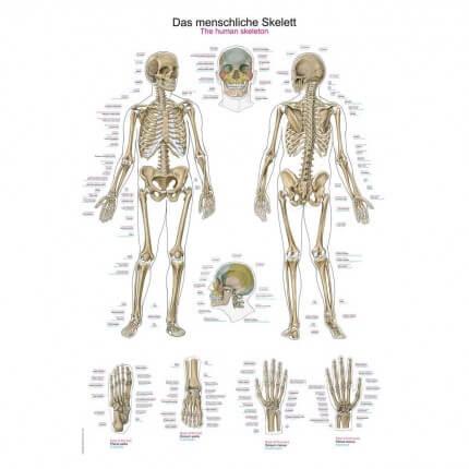 Lehrtafel – Das menschliche Skelett