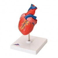 3B Scientific The Classic Heart