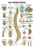 Rüdiger Anatomie Lehrtafel - Die menschliche Wirbelsäule