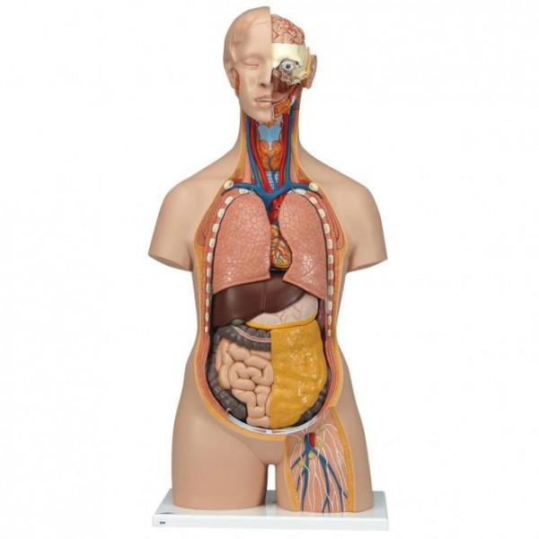 Modell Klassik-Torso mit geöffnetem Rücken