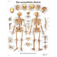 3B Scientific Lehrtafel – Das menschliche Skelett