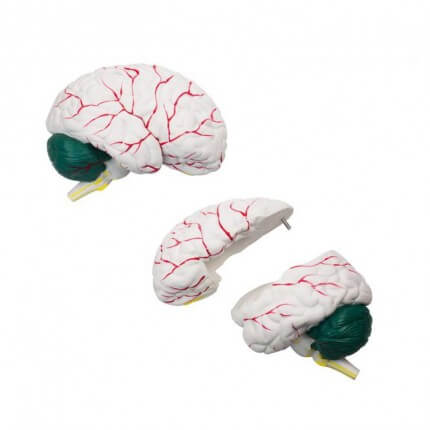 Modell Gehirn 3-teilig