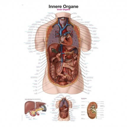 Lehrtafel – Innere Organe