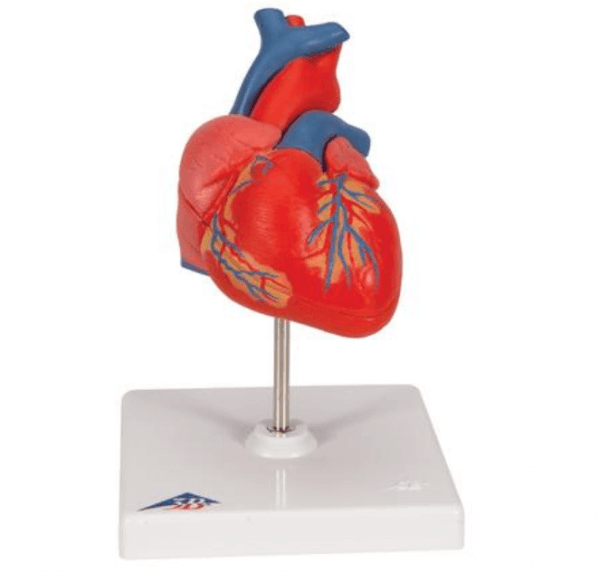 Anatomisch hart model