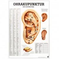 Rüdiger Anatomie Lehrtafel - Ohrakupunktur