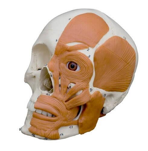 Anatomie-Schädel mit Gesichtsmuskulatur