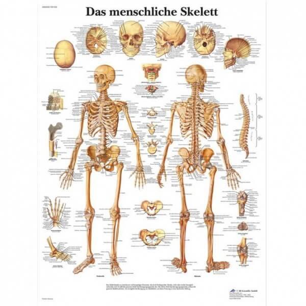 Lehrtafel - Das menschliche Skelett