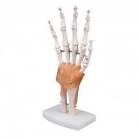 Doctor No Modell Anatomisches Hand-Skelett