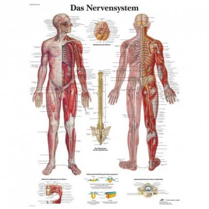 Lehrtafel – Das Nervensystem