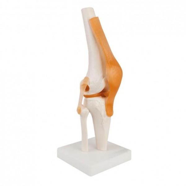 Modell Anatomisches Kniegelenk