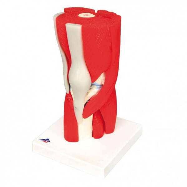 Modell Kniegelenk