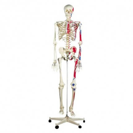 Max the Muscle Skeleton