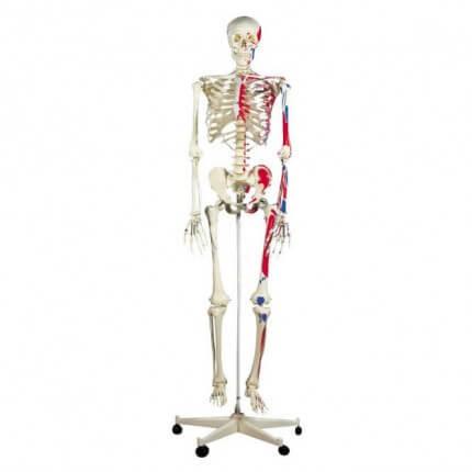 Spier-skelet Max