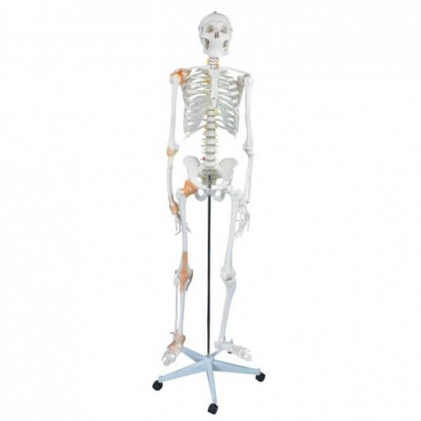 Flexibles Menschliches Skelett
