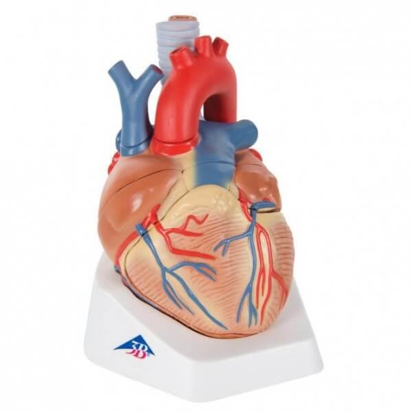 Herzmodell, 7-teilig