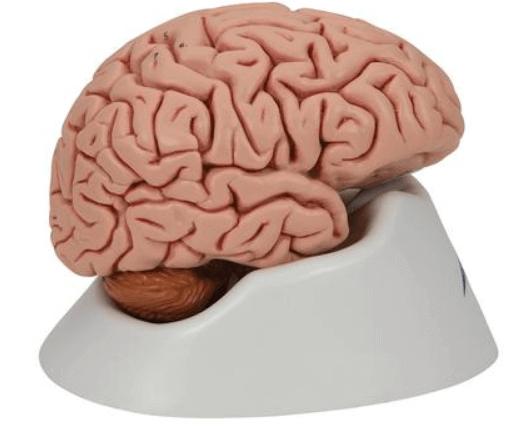 Modell Klassik-Gehirn