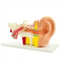 Doctor No Modell Anatomisches Ohr