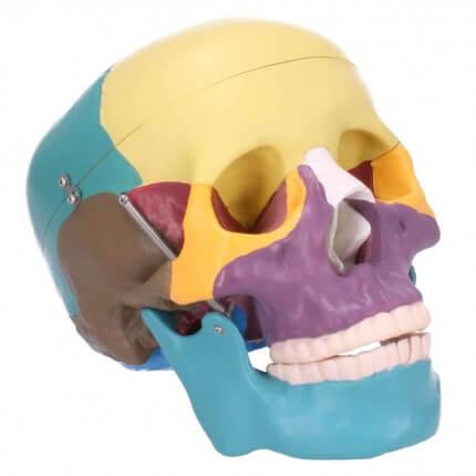 Schädelmodell mit didaktischer Farbgebung