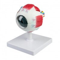HeineScientific Modell Anatomisches Auge