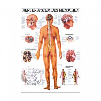 Lehrtafel – Das Nervensystem des Menschen