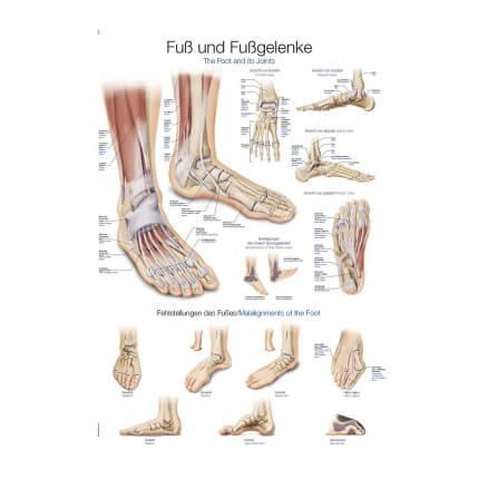 Lehrtafel – Fuß und Fußgelenke
