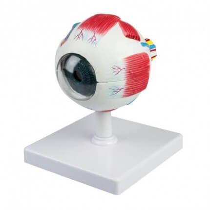 Modell Anatomisches Auge
