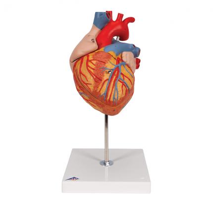 Modèle anatomique de coeur