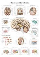 Erler-Zimmer Lehrtafel – Das menschliche Gehirn