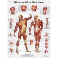 3B Scientific Lehrtafel – Die menschliche Muskulatur