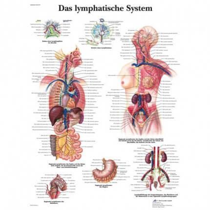 Lehrtafel – Das lymphatische System