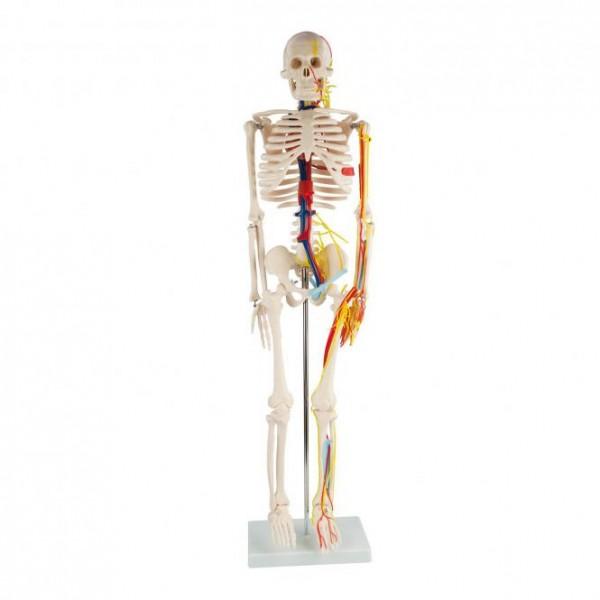 Anatomisches Skelett