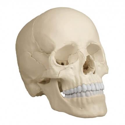 Modèle de crâne d'ostéopathie