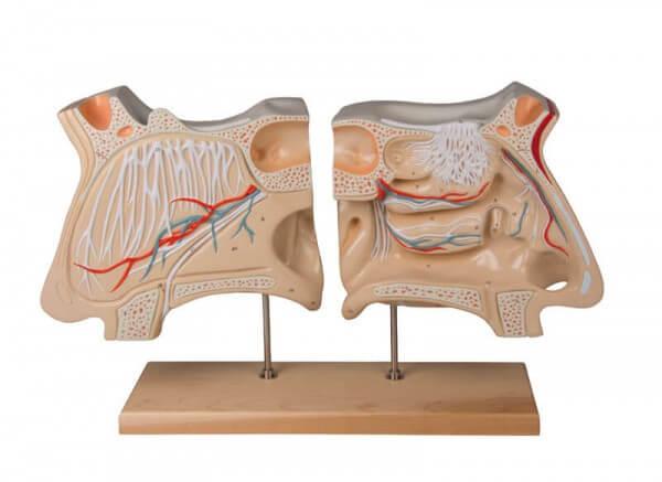 Nase und Riechorgan Modell
