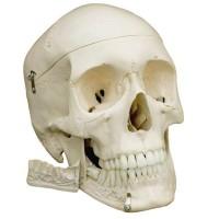 Rüdiger Anatomie Schädel