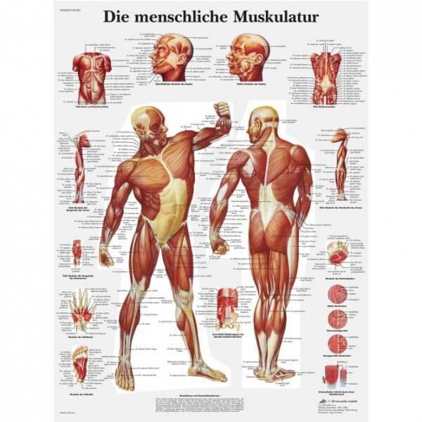 Lehrtafel – Die menschliche Muskulatur