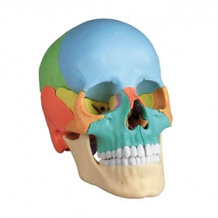 Modèle de crâne didactique