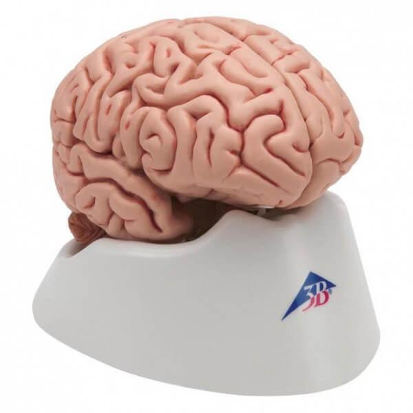 The Classic Brain