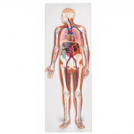 Blutkreislauf Reliefmodell