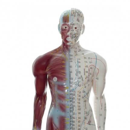Modèle d'acupuncture masculin
