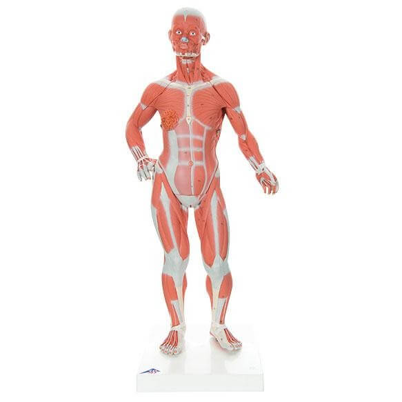 Modell Muskelfigur