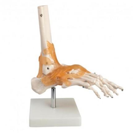 Modell Anatomisches Fuß-Skelett