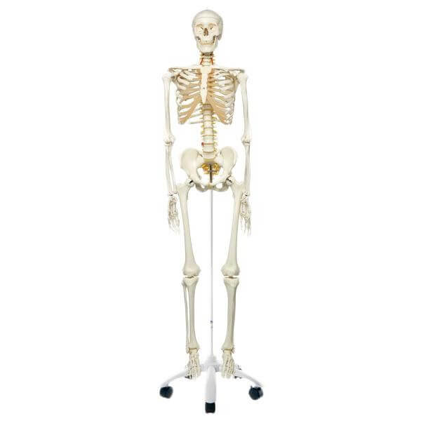 Skelett-Modell Fred