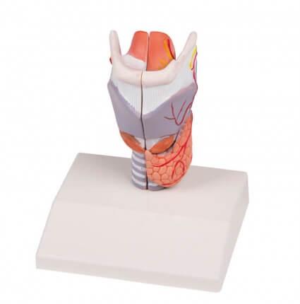 Kehlkopfmodell in natürlicher Größe