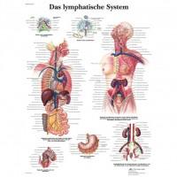 3B Scientific Lehrtafel – Das lymphatische System