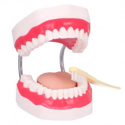 Zahnpflegemodell mit Zahnbürste